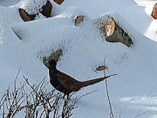 雪の中のキジ